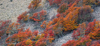 Lengas Fall Color on Mountain 06.jpg