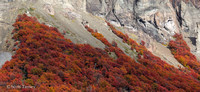 Lengas Fall Color on Mountain 02.jpg